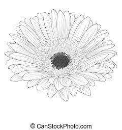 beautiful monochrome, black and white gerbera flower...