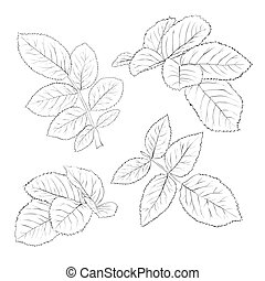 set of beautiful black and white rose leaves isolated on white.