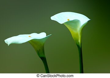 Arum lillies, cala - two flowers cala, isolated on a dark...