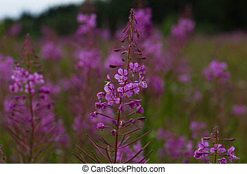 Rosebay Willowherb or Fireweed - Wild flower Rosebay...