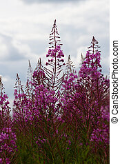 Some flowers Rosebay Willowherb or Fireweed - Wild flower...