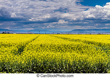 Yellow Canola Rapeseed Fields in Bloom - Farm field of...