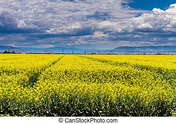 Yellow Canola Rapeseed Fields in Bloom - Farm field of...
