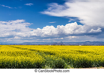 Yellow Canola Rapeseed Fields in Bloom - Agricultural field...