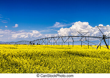 Yellow Canola Rapeseed Fields in Bloom - Field of canola...