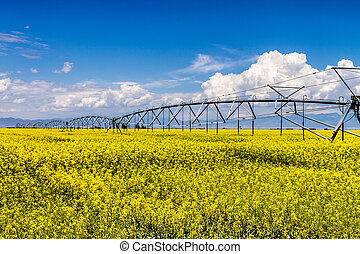 Yellow Canola Rapeseed Fields in Bloom - Field of rapeseed...