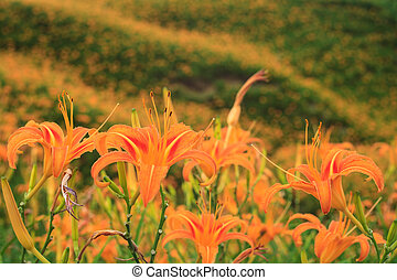 Daylily flower at sixty Stone Mountain in Taiwan Hualien...