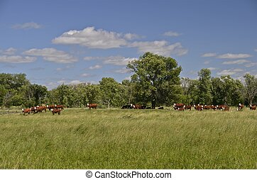 Beef herd in the pasture - A herd of Herefords feed on...