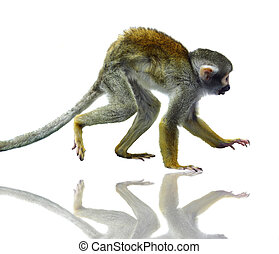 Common squirrel monkey on white - Common squirrel monkey,...