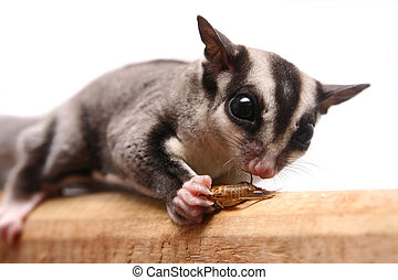 Small sugar glider, Petaurus breviceps, on white background