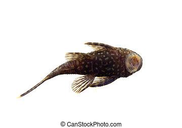Aquarium Fish Bushymouth catfish on white - Aquarium Fish...