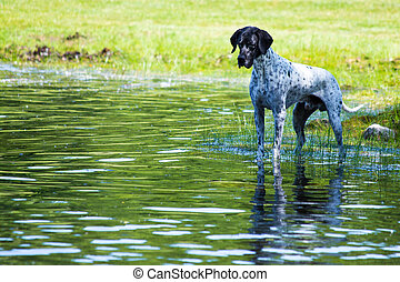 English pointer at the pond - This dog was facsinated with...