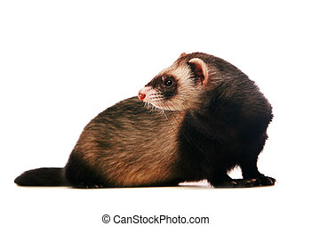Ferret on white background - Ferret, 1 years old, isolated...