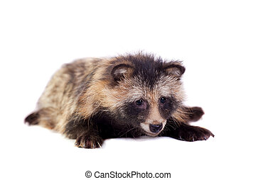 Raccoon Dog on white background - Raccoon Dog, Nyctereutes...
