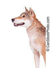 Steppe wolf on white - Steppe wolf, Canis lupus campestris,...