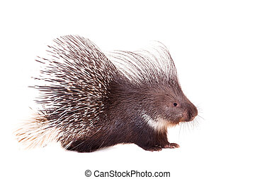 Indian crested Porcupine on white - Indian crested...