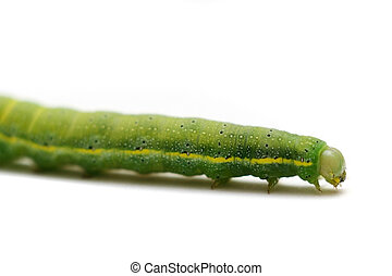 Caterpillar of Green-veined White Butterfly