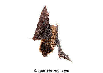 Northern bat on white. - Northern bat, Eptesicus nilssonii,...