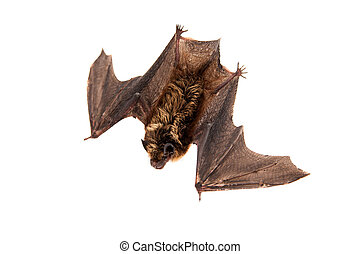 Northern bat on white - Northern bat, Eptesicus nilssonii,...