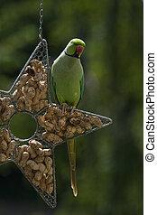 Ringnecked parakeet on feeding hanger - Rose-ringed parakeet...
