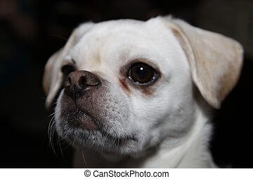 Chihuahua Pug Mix - Close up of Chihuahua Pug Cross dog with...
