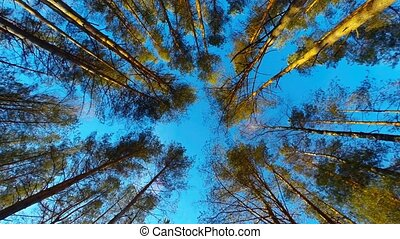 pine trees swaying in the wind, bottom view