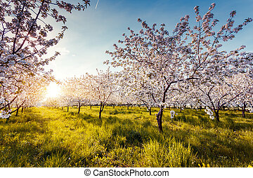 apple tree - Blossoming apple orchard in spring. Ukraine,...