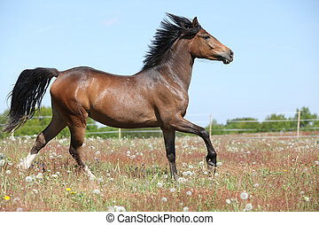 Amazing brown sport pony running on pasturage - Amazing...