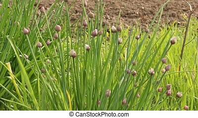 chives in a garden - garden chives blowing in a summer...