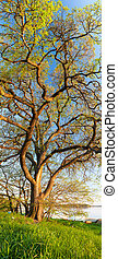 Vertical panorama of big tree