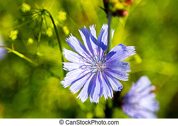 blooming beautiful flower wild chicoryc - mage blooming...