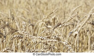 spikelets in the field for close-up - Beautiful golden wheat...