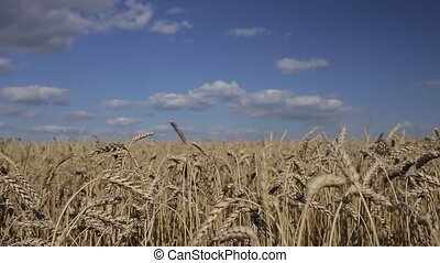 spikelets in the field and sky - Beautiful golden wheat in...