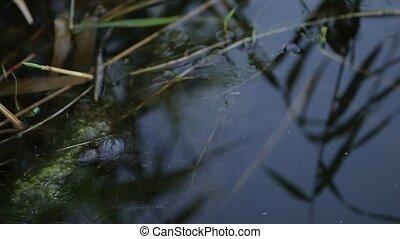 Little Turtle in water - a grass floating in water alongside...