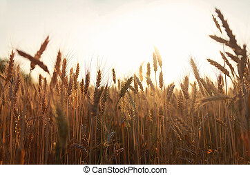 yellow wheat field at sunset