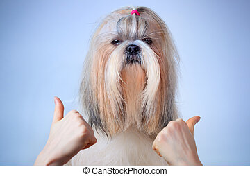 Shih tzu dog handsign On blue and white background