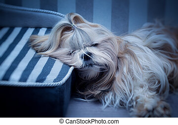 Shih tzu dog sleeping. Soft blue tint.