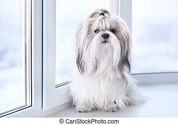 Shih tzu dog sitting by windows.