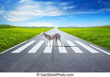 Sheep walking on crosswalk on field and road background.