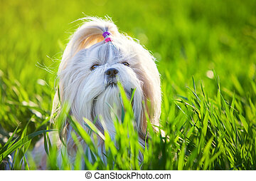 Shih tzu dog in grass