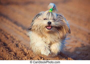 Shih tzu dog running.
