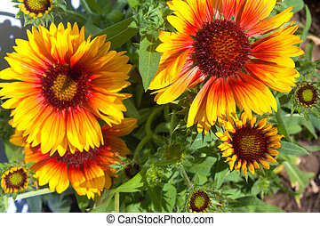 Yellow and brown rudbeckia flowers in the garden