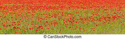 Field of red poppies (Papaver rhoeas) - Mass of red poppies...