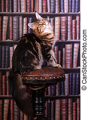 Tabby Maine Coon cat - Brown Tabby Maine Coon cat in library