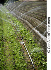 field of vegetables watering automatically
