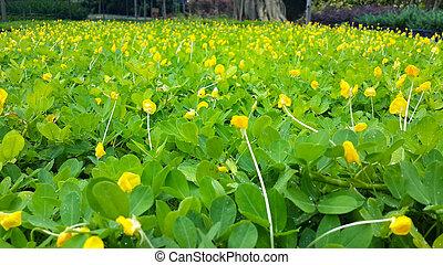 pinto peanut green background brazil garden flora