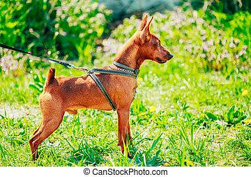 Close Up Brown Dog Miniature Pinscher Head - Close Up Red...