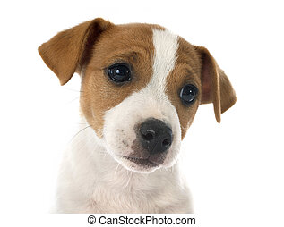 puppy jack russel terrier - portrait of a purebred puppy...