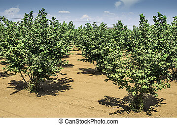 Hazel tree plantation. Summer time