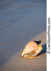 Queen conch on sand beach of Florida Keys